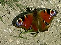Peacock butterfly sunning itself - geograph.org.uk - 390644.jpg