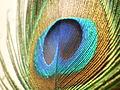 Peafowl-closeup-feather.jpg
