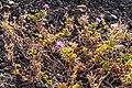 Pelargonium capitatum-pjt4.jpg