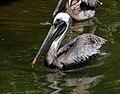 Pelecanus occidentalis at Birmingham Zoo-4.jpg