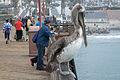 Pelican at Oceanside Pier-2.jpg