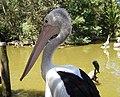 Pelican profile.jpg