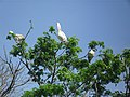 Pelicans taking sunbath on trees.jpg