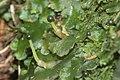 Pellia epiphylla (d, 144643-474753) 1607.jpg