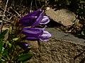 Penstemon fruticosus 15600.JPG