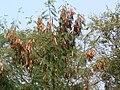 Periya-takarai (Tamil- பெரியதகரை) (2115070876).jpg