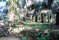 Perkebunan kelapa sawit milik rakyat (42).JPG