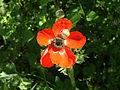 Persian Buttercup 06.jpg