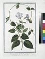 Pervinca vulgaris, latifolia, flore cæruleo - Vinca-pervinca - Pervenche. (Vinca minor or Periwinkle) (NYPL b14444147-1125022).tiff