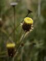 Phagnalon saxatile (inflorescense).jpg