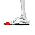 Phalanges of left foot02a lateral view.png