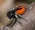 Philaeus chrysops RF.jpg