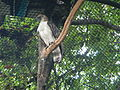 Philippine Eagle - Pithecophaga jefferyi - Ninoy Aquino Parks & Wildlife Center 06.jpg