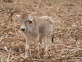 Philippine cattle calf.JPG