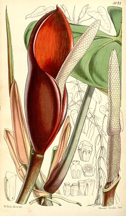 Philodendron erubescens Bot. Mag. 84. 5071. 1858.jpg