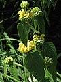 Phlomis russeliana Żeleźniak żółty 2010-06-11 03.jpg