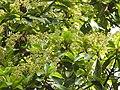 Phoebe cooperiana flowering tree DSCN9590.jpg