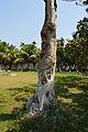 Phoenix dactylifera Enclosed with Ficus religiosa - Jagadispur - Howrah 2015-03-08 6524.JPG