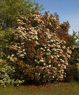 <i>Photinia</i> genus of plants