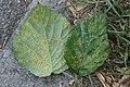 Phragmidium violaceum 76542139.jpg