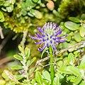 Phyteuma orbiculare in Lozere (4).jpg