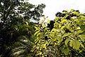 Phytolacca dioica 14zz.jpg