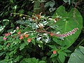 Phytolacca rivinoides (plant) in Costa Rica.jpg