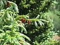 Picea engelmannii foliage cones2.jpg