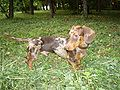 Pieblad dachshund.jpg