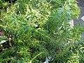 Pieris japonica Pygmaea 1zz.jpg