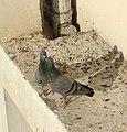 Pigeons kissing.jpg