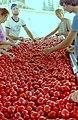 PikiWiki Israel 10097 Gan -Shmuel - sort tomato industry 1987.jpg