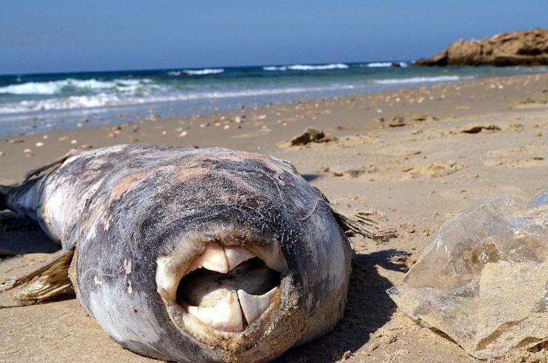 דג  שנפלט לחוף,  בחוף בית ינאי