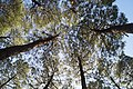 Pine Trees DSC09804.jpg