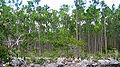 Pinus caribaea var. bahamensis forest1.jpg