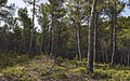 Pinus forest, Saint-Rémy-de-Provence cf02.jpg
