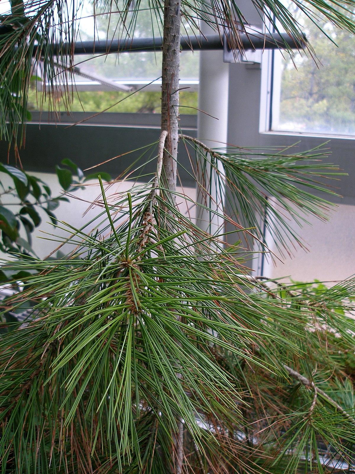 Pinus Gerardiana Wikipedia