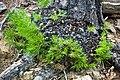 Pinus leiophylla sprouting-burl.jpg