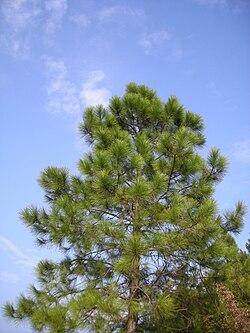 Pinus massoniana 2.jpg