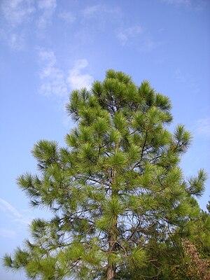 Pinus massoniana - Image: Pinus massoniana 2