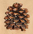 Pinus pinea (Stone pine) - cone - Flickr - S. Rae.jpg