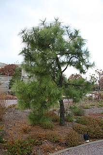 <i>Pinus serotina</i> species of plant
