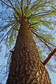 Pinus strobus old tree Appalachian Park.jpg
