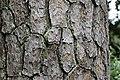 Pinus taeda CG 9 NBG LR.jpg