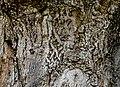 Pioppo canescente (Berra) 10.jpg