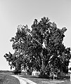 Pioppo canescente (Berra) 12.jpg