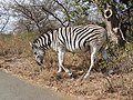 Plains zebra is one of the most attractive wild herbivores of Africa AJTJ.jpg