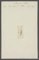 Planaria lactea - - Print - Iconographia Zoologica - Special Collections University of Amsterdam - UBAINV0274 105 09 0027.tif