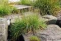 Plantago maritima plant (39).jpg