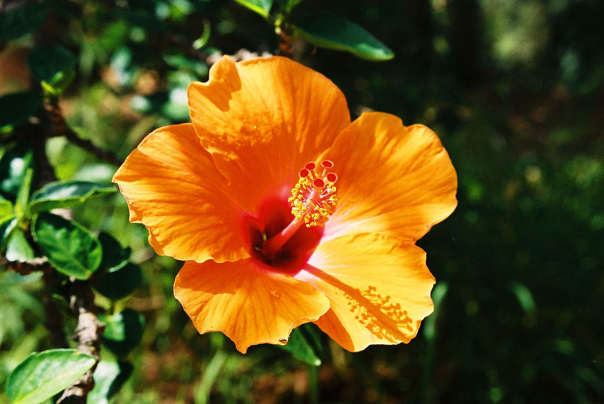 hibiscus  wiktionary, Natural flower